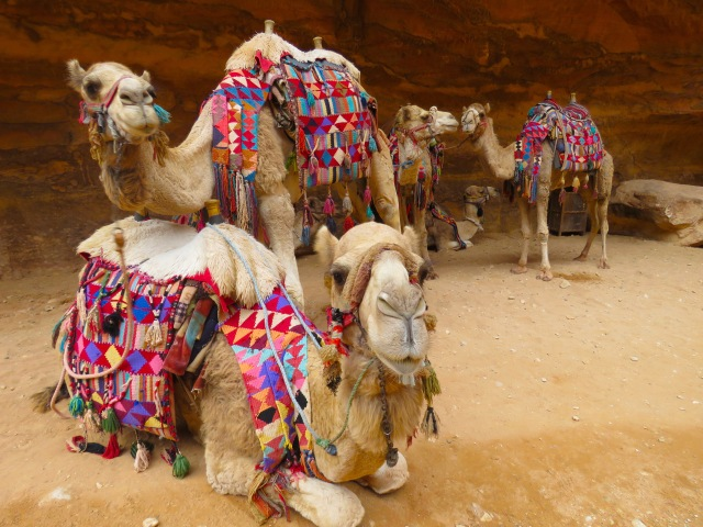 Five camels dressed in geometric patterns wait next to Petra's Treasury - by Anika Mikkelson - Miss Maps - www.MissMaps.com