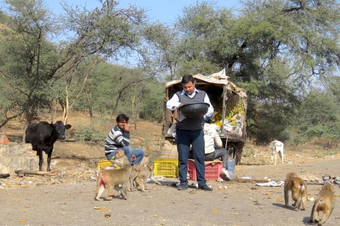 Feeding Monkeys - Hanuman - New Delhi, India