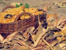 A Little Bird and Her Corn Feast