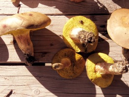 Mushrooms gathering became more of a joke than serious business
