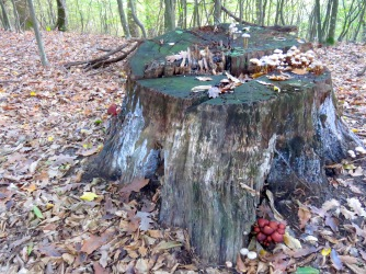 Tree Stumps and, what else, Mushrooms