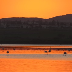 Flamingos at Sunset - Larnaca Cyprus - January 2016