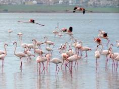 Thousands of flamingos fly to Africa each winter, stopping in Larnaca during the first months of the year - by Anika Mikkelson - Miss Maps - www.MissMaps.com
