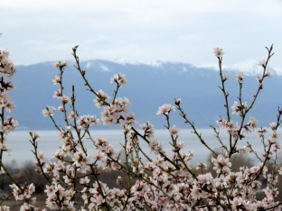 Cherry Blossoms in Bloom - Ohrid Macedonia - by Anika Mikkelson - Miss Maps - www.MissMaps.com