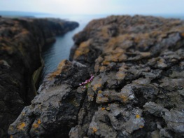 Flowers blooming between the rocks of Burren Ireland - by Anika Mikkelson - Miss Maps - www.MissMaps.com