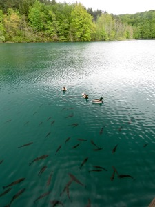 Going for a swim in Plitvice Lakes - Croatia - by Anika Mikkelson - Miss Maps - www.MissMaps.com