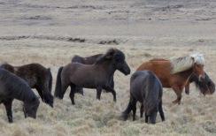 Icelandic Horses - Western Iceland - by Anika Mikkelson - Miss Maps - www.MissMaps.com