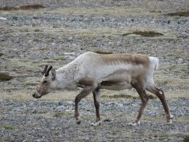 Rudolph the Reindeer - by Anika Mikkelson - Miss Maps - www.MissMaps.com
