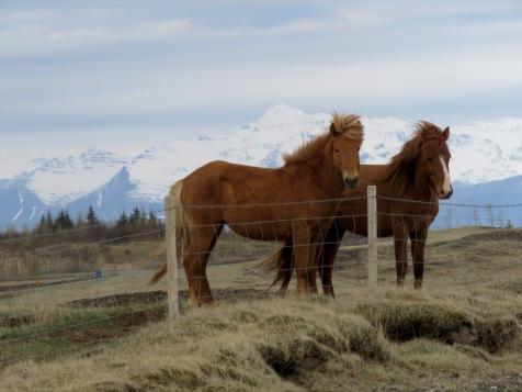 Icelandic Horses - by Anika Mikkelson - Miss Maps - www.MissMaps.com