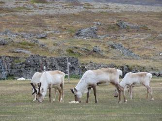 Reindeer Feeding - Iceland - by Anika Mikkelson - Miss Maps - www.MissMaps.com