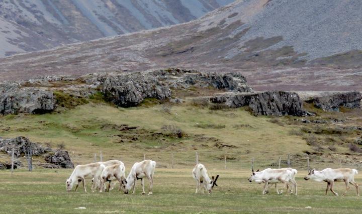 Reindeer - Iceland - by Anika Mikkelson - Miss Maps - www.MissMaps.com