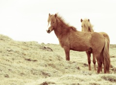 Shy Horses - Iceland - by Anika Mikkelson - Miss Maps - www.MissMaps.com