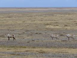 Triplets - Reindeer in Iceland - by Anika Mikkelson - Miss Maps - www.MissMaps.com