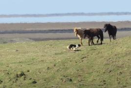 Who's winning - horse or dog - Iceland - by Anika Mikkelson - Miss Maps - www.MissMaps.com