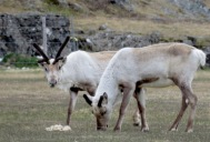 Young Reindeer - Iceland - by Anika Mikkelson - Miss Maps - www.MissMaps.com