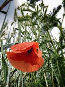 A Single Poppy in a Field of Blue - Slovenia - by Anika Mikkelson - Miss Maps - www.MissMaps.com