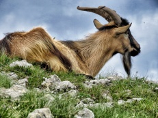 Billy Goats Gruff in the Mountains of Lukomir BiH - by Anika Mikkelson - Miss Maps - www.MissMaps.com