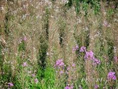 Fields of wild flowers - Northern Estonia - by Anika Mikkelson - Miss Maps - www.MissMaps.com