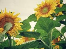 It's your time to shine - Sunflower fields in Zahony Hungary - by Anika Mikkelson - Miss Maps - www.MissMaps.com