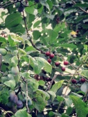 Plums and Cherries in every yard - Zahony Hungary - by Anika Mikkelson - Miss Maps - www.MissMaps.com