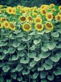 Sunflower Fields stretch for acres Zahony Hungary - by Anika Mikkelson - Miss Maps - www.MissMaps.com