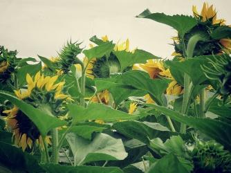 Sunflower Season - they're camera shy - Zahony Hungary - by Anika Mikkelson - Miss Maps - www.MissMaps.com