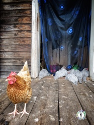 While the other rooster stands guard outside - South Estonia - by Anika Mikkelson - Miss Maps - www.MissMaps.com