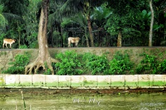 Cows on the Riverside - Views from the Rocket Steamer Boat - Dhaka to Sundarbans Bangladesh - by Anika Mikkelson - Miss Maps - www.MissMaps.com