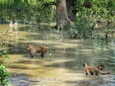 Monkeys Playing in the Waters of the Sundarbans near Mongla Bangladesh - by Anika Mikkelson - Miss Maps - www.MissMaps.com