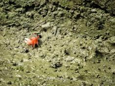 Tiny Crabs in the Mud - Sundarbans Near Mongla Bangladesh - by Anika Mikkelson - Miss Maps - www.MissMaps.com