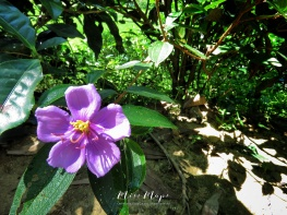 Purple Flower - Tea Garden - Sylhet Bangladesh - by Anika Mikkelson - Miss Maps - www.MissMaps.com