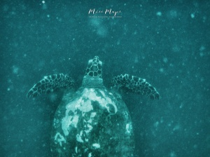 Sea Turtle Swimming - Indian Ocean Maldives - by Anika Mikkelson - Miss Maps - www.MissMaps.com
