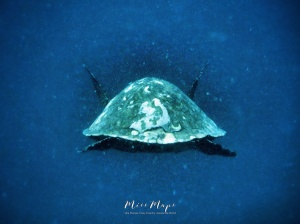 Sea Turtle Swimming - Indian Ocean Maldives - by Anika Mikkelson - Miss Maps - www.MissMaps.com
