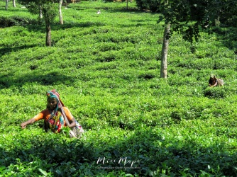 Women Working in the Tea Garden - Sylhet Bangladesh - by Anika Mikkelson - Miss Maps - www.MissMaps.com