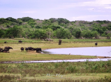 Buffalo and Elephants on the Plain - Yala National Park - Sri Lanka - by Anika Mikkelson - Miss Maps - www.MissMaps.com