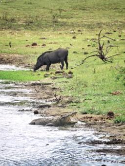 Crocodile and Wild Boar - Yala National Park - Sri Lanka - by Anika Mikkelson - Miss Maps - www.MissMaps.com