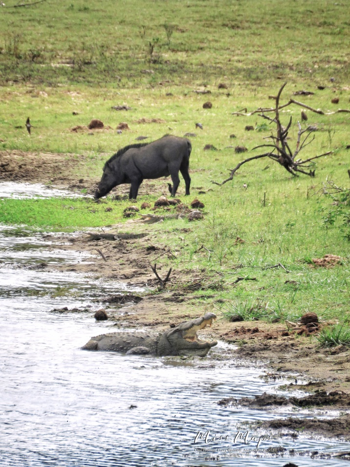 Crocodile and Wild Boar - Yala National Park - Sri Lanka - by Anika Mikkelson - Miss Maps - www.MissMaps.com