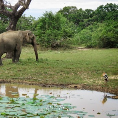 Elephant and Painted Stork with shade and watery reflections - Yala National Park - Sri Lanka - by Anika Mikkelson - Miss Maps - www.MissMaps.com