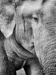 Elephant Close-Up in Black and White - Yala National Park - Sri Lanka - by Anika Mikkelson - Miss Maps - www.MissMaps.com