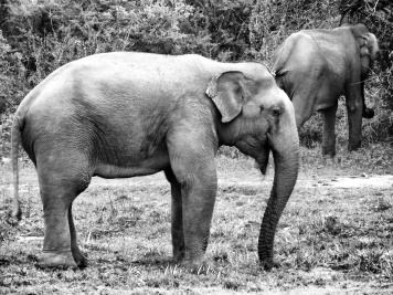 Elephant Pair in Black and White - Yala National Park - Sri Lanka - by Anika Mikkelson - Miss Maps - www.MissMaps.com