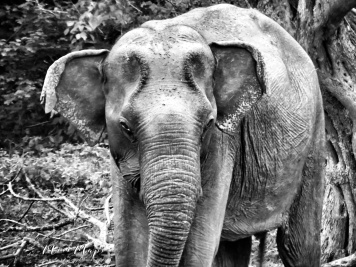 Elephant Wrinkles in black and white - Yala National Park - Sri Lanka - by Anika Mikkelson - Miss Maps - www.MissMaps.com