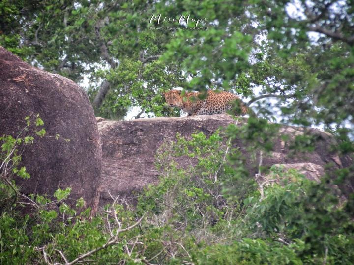 LEOPARD SPOTTED - Yala National Park - Sri Lanka - by Anika Mikkelson - Miss Maps - www.MissMaps.com