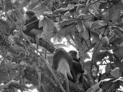 Monkeys in the Trees - Galle Sri Lanka - by Anika Mikkelson - Miss Maps - www.MissMaps.com