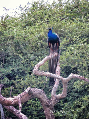 Peacock Perched on a Tree - Yala National Park - Sri Lanka - by Anika Mikkelson - Miss Maps - www.MissMaps.com