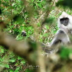 Snack Time - Gray Black Faced Langur Monkey - Yala National Park - Sri Lanka - by Anika Mikkelson - Miss Maps - www.MissMaps.com