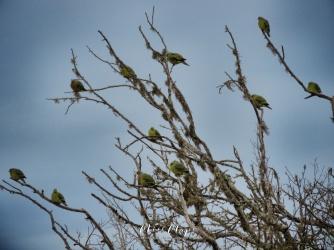 Sri Lankan Green Imperial Pigeons - Yala National Park - Sri Lanka - by Anika Mikkelson - Miss Maps - www.MissMaps.com
