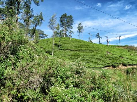 Striped Tea Plantation - Views from the Train - Train Ride Ella to Kandy Sri Lanka - by Anika Mikkelson - Miss Maps - www.MissMaps.com