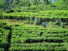 Tea Plantation (A bit blurry - we were on the move!) - Train from Ella to Kandy Sri Lanka - by Anika Mikkelson - Miss Maps - www.MissMaps.com