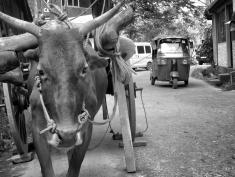 TukTuks and Bulls - Transportation - Galle Sri Lanka - by Anika Mikkelson - Miss Maps - www.MissMaps.com