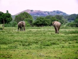 Two Elephants in the Prairie - Yala National Park - Sri Lanka - by Anika Mikkelson - Miss Maps - www.MissMaps.com